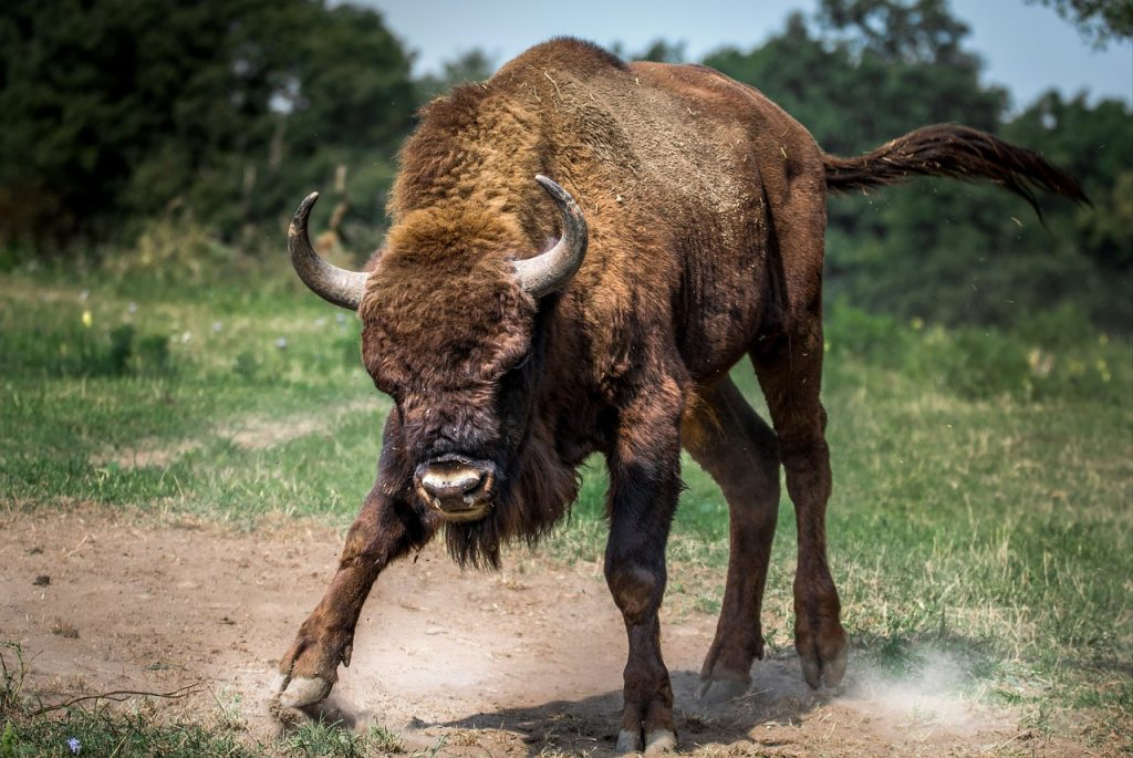 raging-cow
