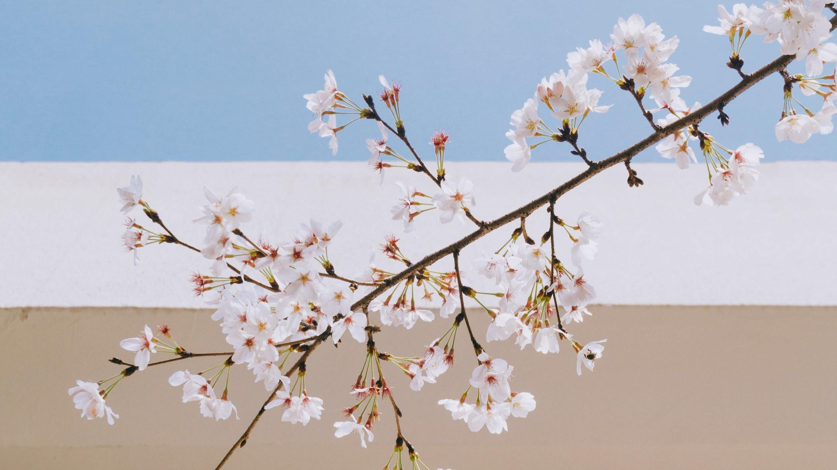 cherry- blossom