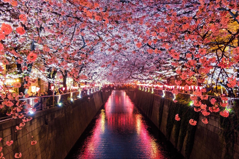 night-cherry-blossom